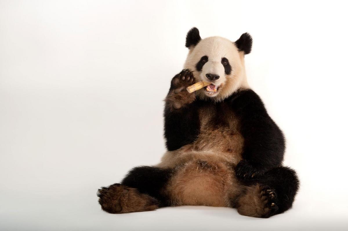 I Am a Panda 1